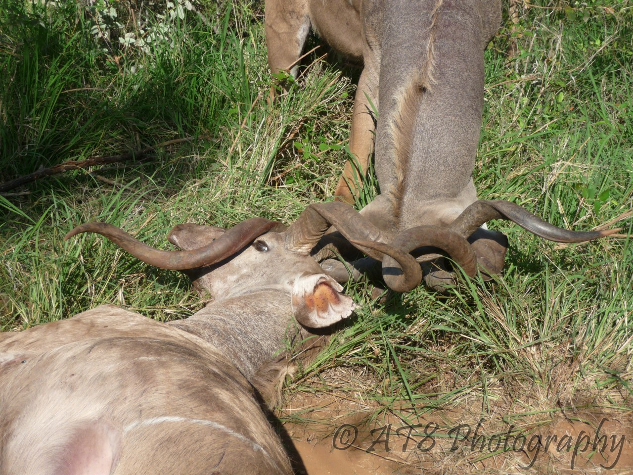 African Animals with Long Horns http://afrography.com/2013/02/23/locking-horns/
